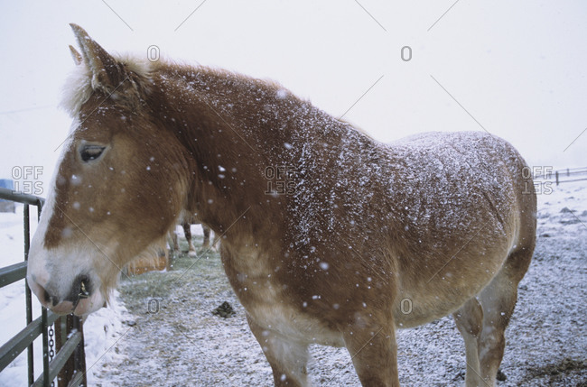 Mule standing in the snow