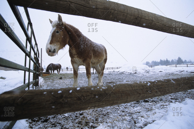 Mules in a snowy enclosure