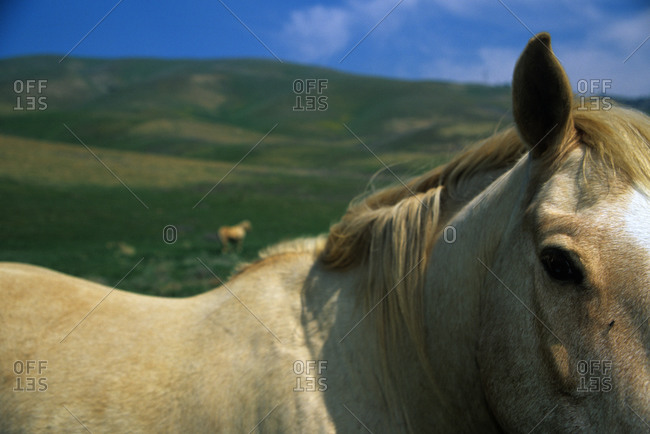 Face and withers of a horse standing in a green field