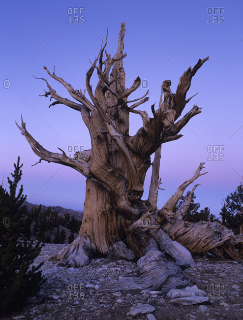Bristlecone pine tree at dusk in California