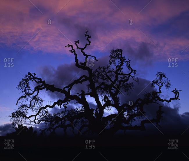 Oak tree silhouette at sunset in California