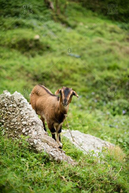 Goat standing next to rock on green hillside