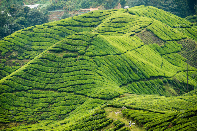 Worker on a tea plantation in the Cameron Highlands of Malaysia