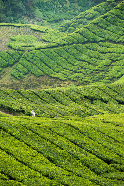 Man carrying bag of harvested tea leaves on plantation in Malaysia