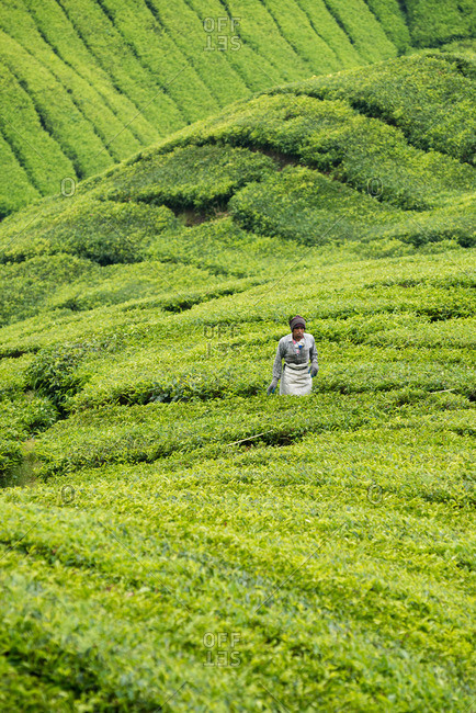 Cameron Highlands, Pahang, Malaysia - July 7, 2015: Man working among rows of tea bushes on farm in Malaysia