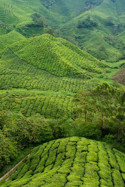 Lush green hills on a tea plantation in Malaysia