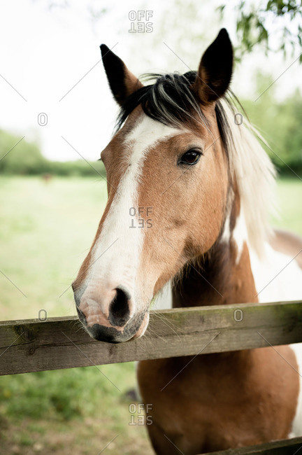 Beautiful brown and white horse at a fence
