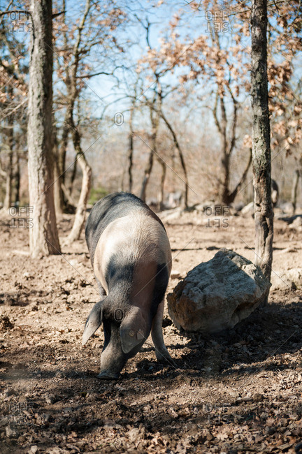 A purebred Cinta Senese pig grazing among trees on a farm in Italy