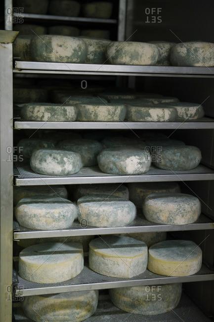 Wheels of pecorino cheese aging on shelves