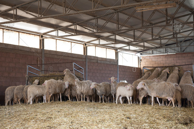 Pen of sheep eating hay on a sheep farm