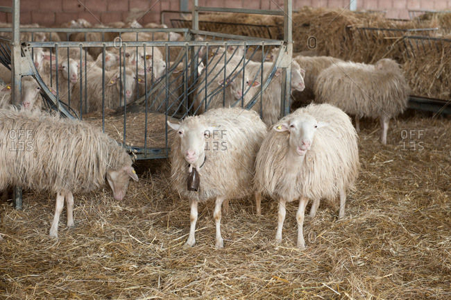 Sheep with a bell among other sheep on a farm in Italy