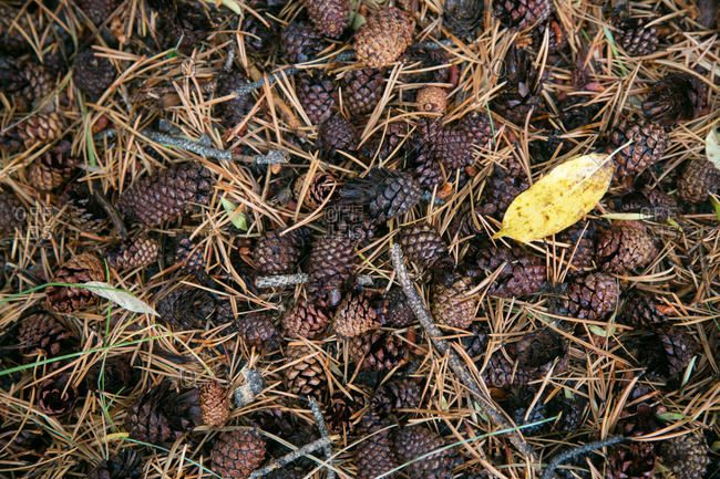 Pine needles and cones on the ground