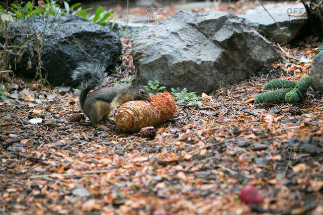 Chipmunk eating a pine cone in forest