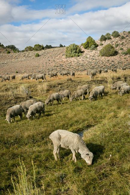 Sheep grazing in California mountains