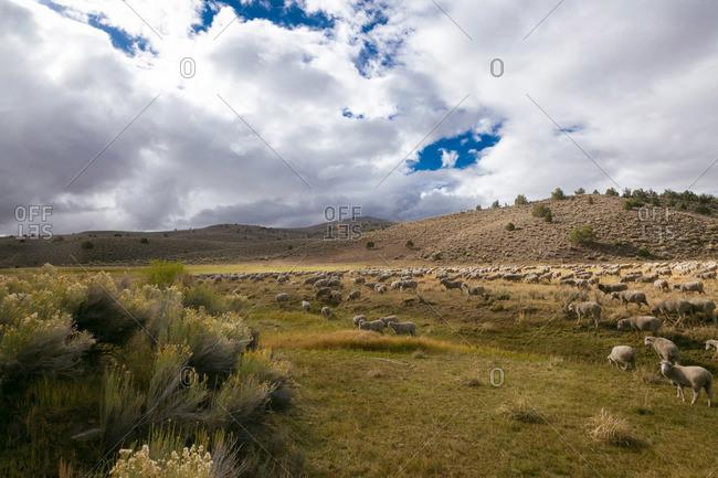 Sheep herd grazing in California mountains