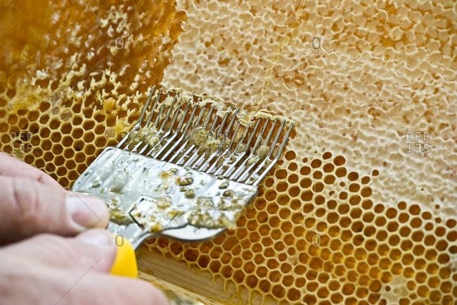 Uncapping of honeycombs, Freiburg im Breisgau, Black Forest, Baden-Wuerttemberg, Germany