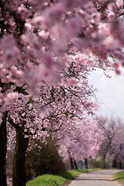 Almond trees in blossom near Bockenheim, Weinstrasse, Rhineland-Palatinate, Germany