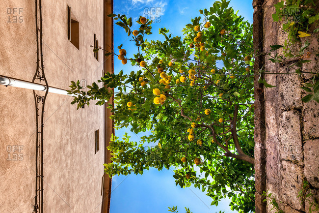 Lemon tree in the old town of Sorrento, Peninsula of Sorrento, Bay of Naples, Campania, Italy
