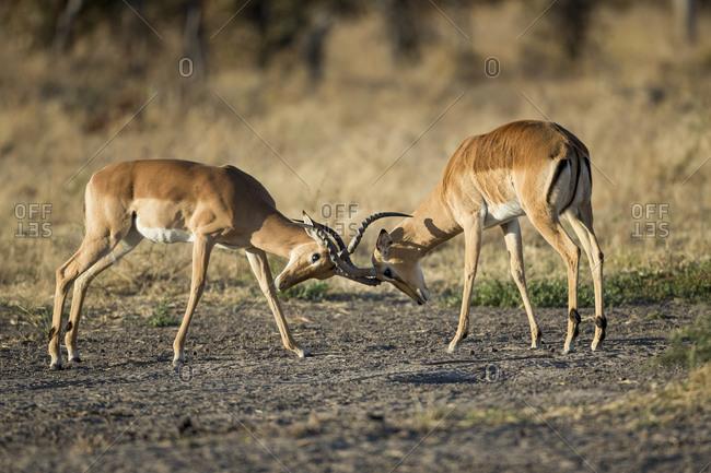 Male Impalas Sparring in Savuti Marsh, Chobe National Park, Botswana
