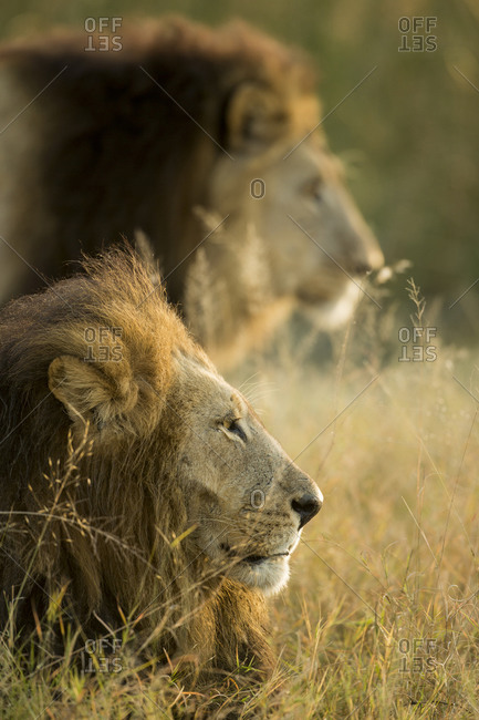 Two male Lions at Dawn, Moremi Game Reserve, Botswana
