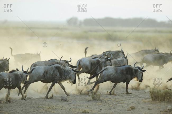 Wildebeest running in the dust at sunset, Amboseli National Park, Kenya