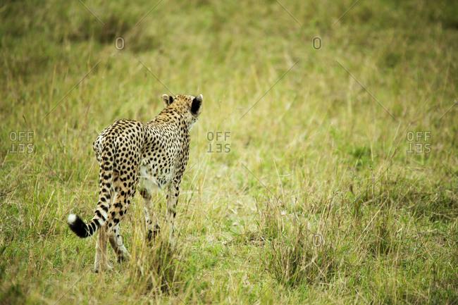 Cheetah alert in the savanna ready to chase for a kill, Masai Mara National Reserve, Kenya