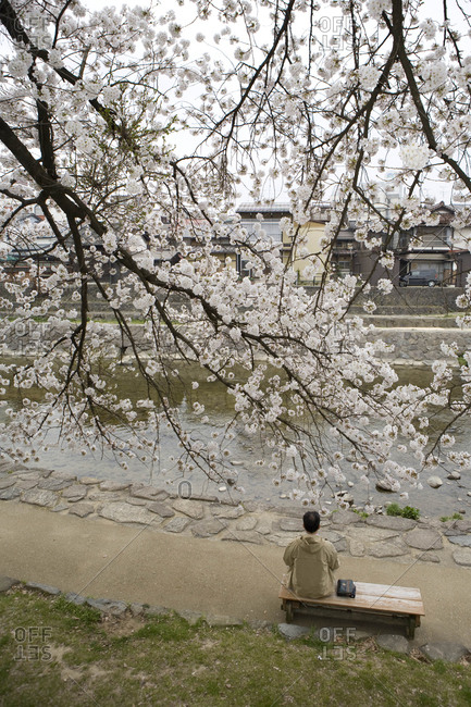 Man on bench on bank of Miyagawa River, under cherry blossom trees in bloom, Gifu Prefecture, Japan