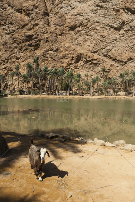 Goat by the gorge, Wadi Shab, Al Sharqiyah Region, Oman.