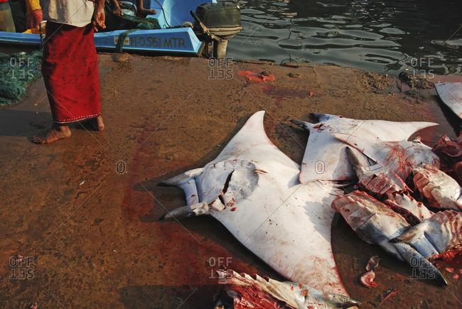 Bloody dead manta ray on pier after fishing trip, Mirissa, Sri Lanka