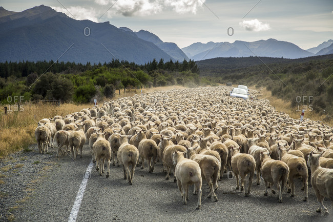 A herd of sheep block the road near Milford Sound, South Island, New Zealand
