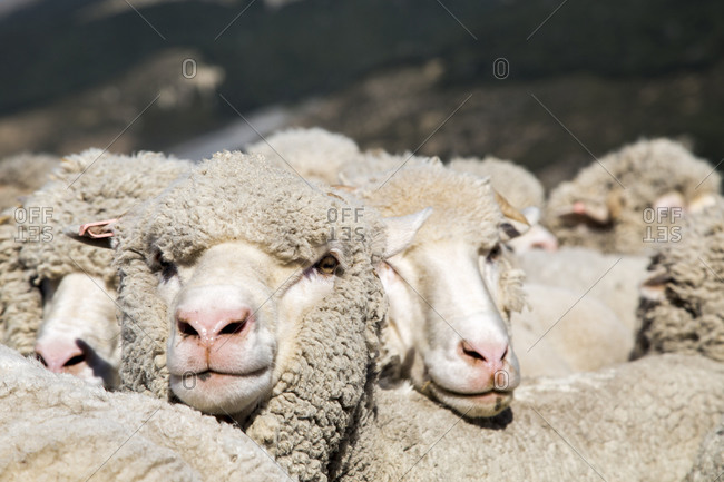 A heard of merino sheep huddle close to each other while having their portraits taken at Arthur's Pass Wilderness Lodge, Arthur's Pass, New Zealand.