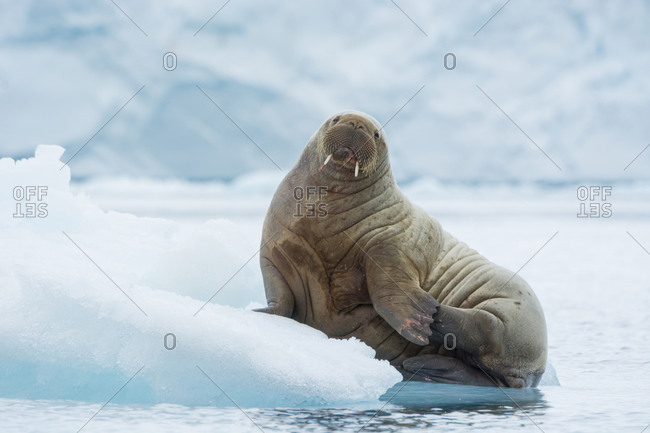 Young Atlantic walrus resting on an ice floe, Brasvelbreen, Nordaustlandet Island, Svalbard, Norway