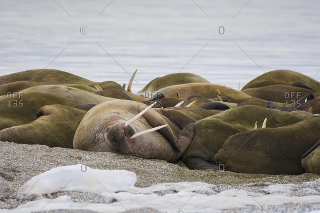 Herd of walruses resting on the beach, Torellneset,  Nordaustlandet Island, Svalbard, Norway