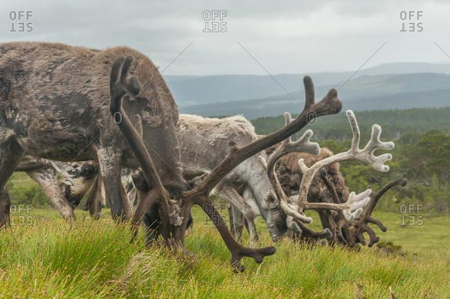 Reindeer grazing, Cairngorm National Park, Scotland, Europe