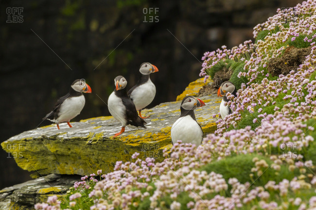 Atlantic puffins on ledge, Shetland Islands, Scotland, Europe