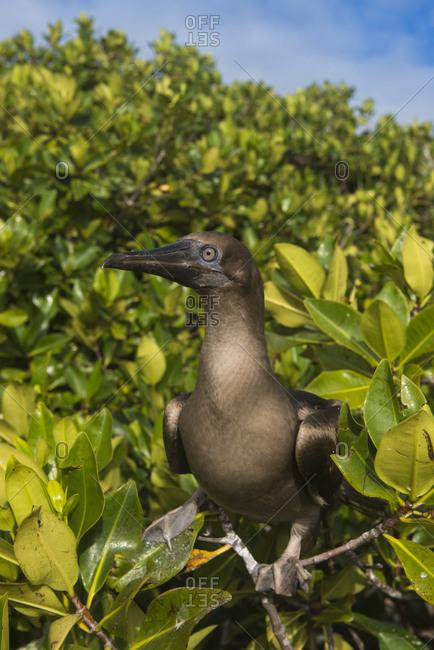 Red-footed booby juvenile, Genovesa Island, Galapagos Islands, Ecuador, South America