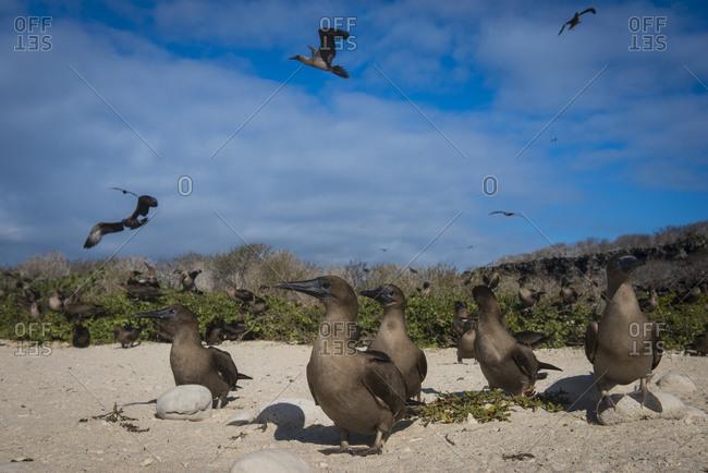 Flock of red-footed booby juveniles, Genovesa Island, Galapagos Islands, Ecuador, South America