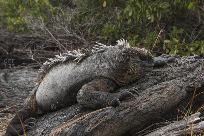 Marine Iguana, Galapagos Islands, Ecuador, South America