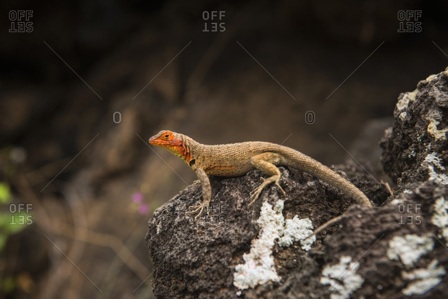 Lava Lizard, Santiago Island, Galapagos Islands, Ecuador, South America