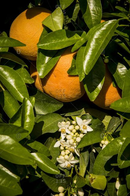 Oranges in orchard at Lemon Hill (below Lake Kaweah), San Joaquin River Valley, Central Valley,  California, USA