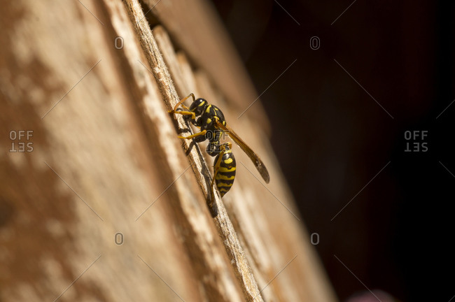 Paper wasp gathering wood for building nest, on wooden chair, Los Angeles, California, USA