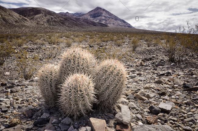 Barrel cactus, Death Valley, California