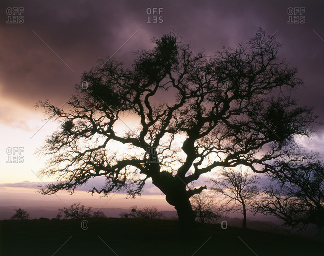 View of Silhouetted bare tree in dusk with purple sunset, California, USA