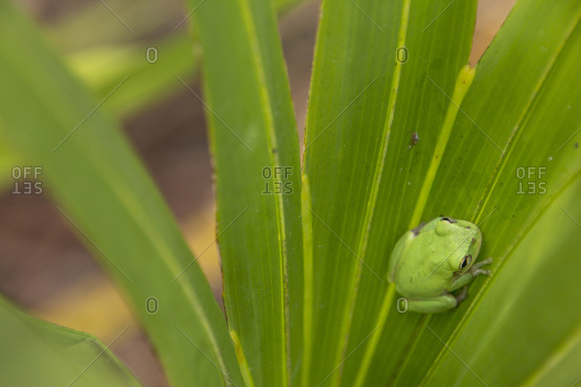 Squirrel tree frog in palmetto, Everglades National Park, Florida