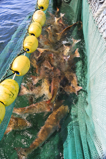 Net full of large red drum captured for study of red drum population, Florida coast, USA