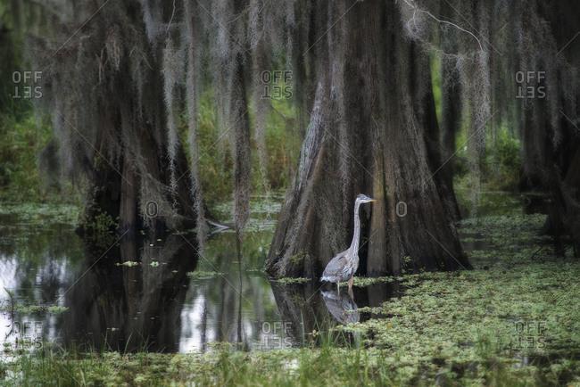 Great Blue Heron portrait standing in marsh with trees, Circle B Bar Ranch, Lakeland, Florida, USA