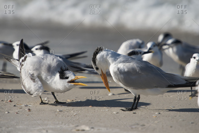 A juvenile Lesser Tern squawking for food from mother, Anna Maria Island, Florida, USA