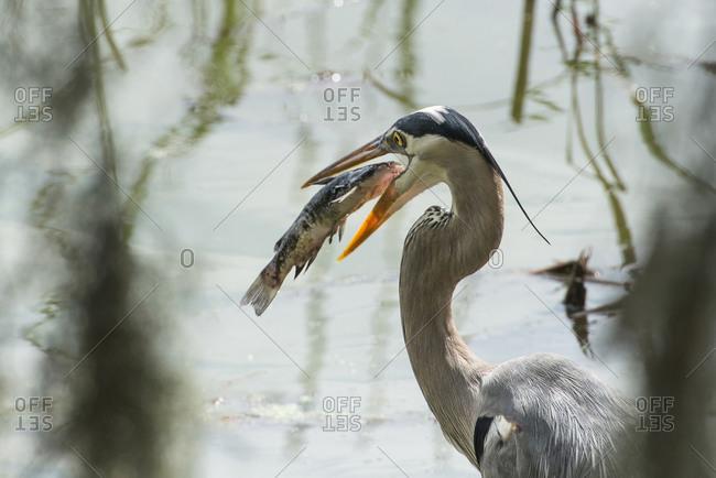 Great Blue Heron with fish in mouth, Circle B Bar Ranch, Lakeland, Florida, USA