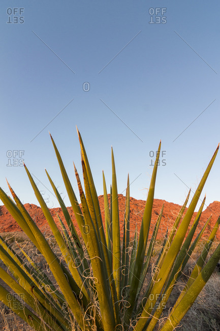 Mojave Yucca, red rocks and clear sky, Red Rock Canyon National Conservation Area, Nevada, USA