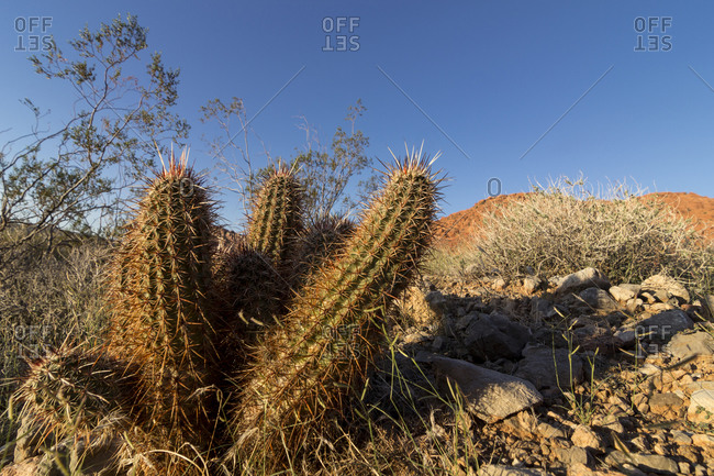 Hedgehog cactus in the rocky desert terrain, Red Rock Canyon National Conservation Area, Nevada, USA